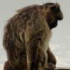 Małpy rządzą na Gibraltarze