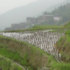 Tarasy Ryżowe Smoczego Grzbietu, czyli jak rośnie ryż
