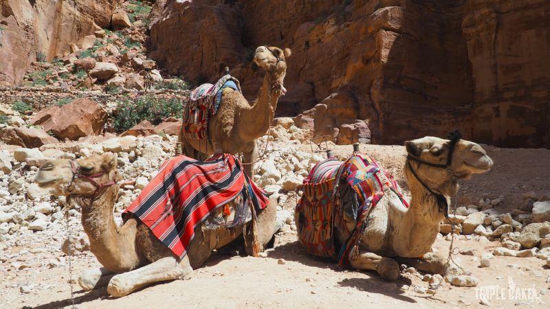 Camels in Petra - waiting for customer / Wielbłądy w oczekiwaniu na klienta